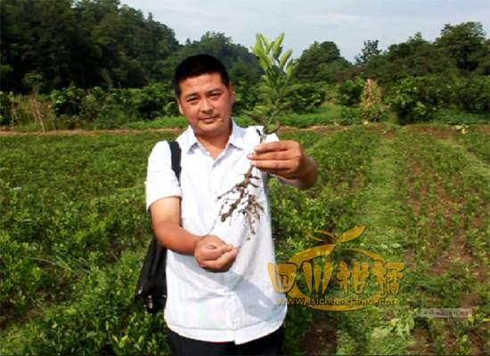 丑柑种植技术和视频