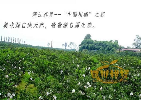 果农四川丑橘不知火柑橘种植合作社的经理