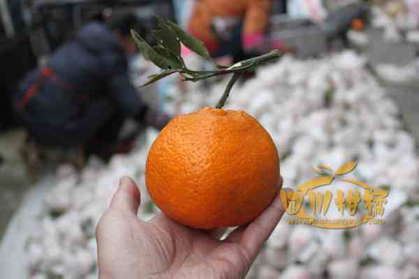 春见柑橘(四川称耙耙柑、耙耙安、耙耙桉)