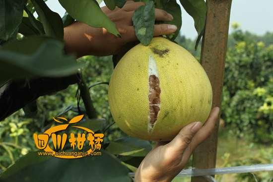 挂着马回优质柑橘产业示范园党委