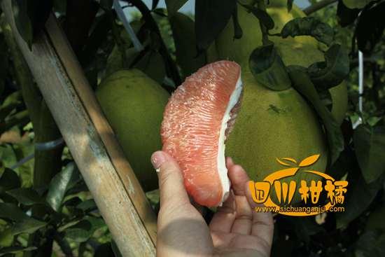 湖北夷陵区抓好新品柑橘的引进改良工作