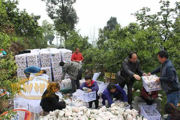 四川蒲江不知火丑柑每年销售到北京几百万斤