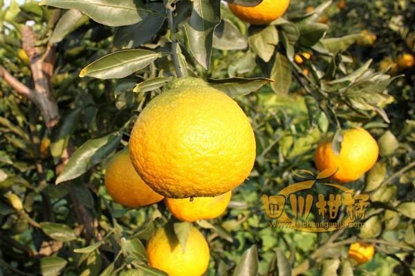 加强农企合作旨在推进不知火柑橘深加工