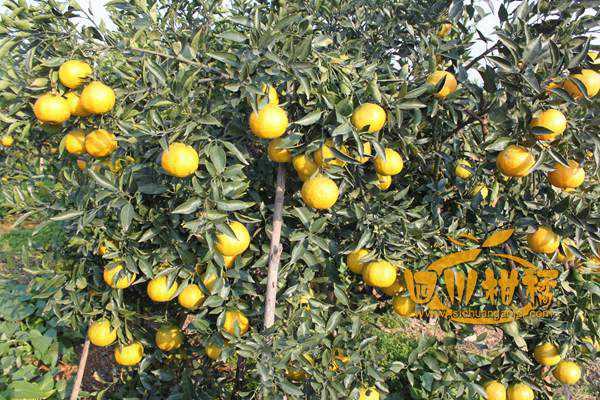 水果皇后不知火柑橘热销东北市场