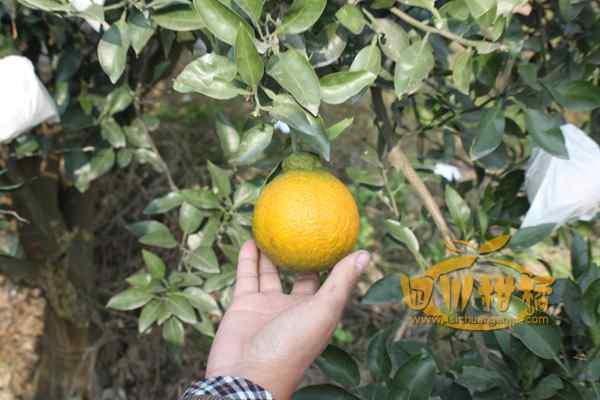 丑橘面积已经发展到万亩