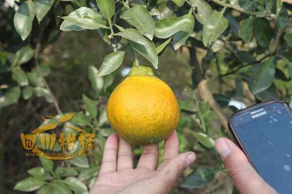 追捧乡也是爱媛38号柑橘的受益者