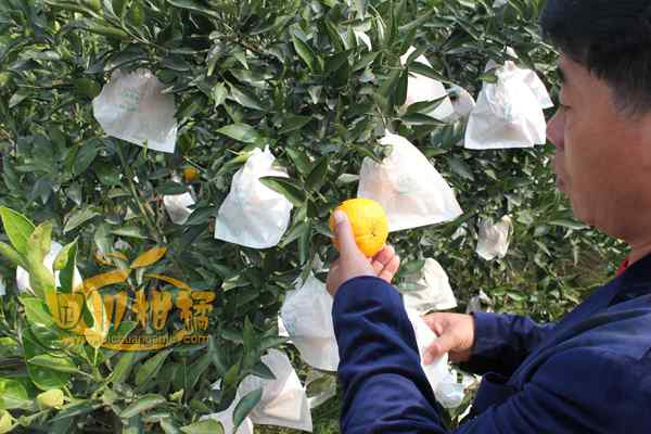 村里一部分人率先从事不知火丑橘产业开发