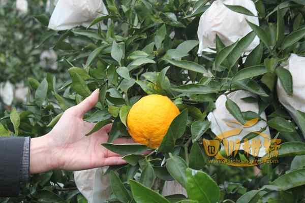 村民们种下的红心蜜柚开始收获