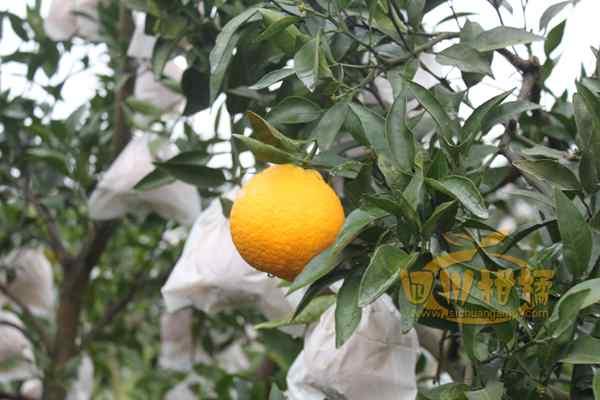 大力宣传柑橘品改的重要性可行性