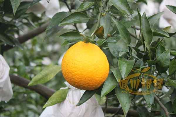不知火柑橘水果农药残留的合格率