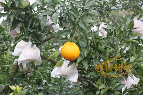 更大的丑八怪丑橘种植户呢