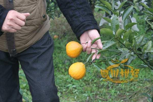 开发不知火柑橘地方良种优势
