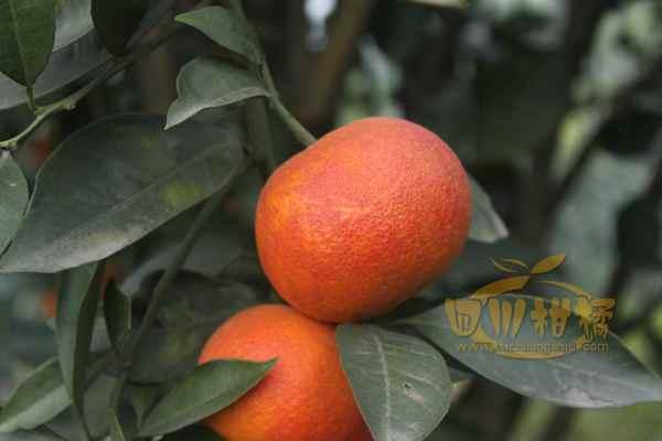 密密麻麻结满了不知火柑橘