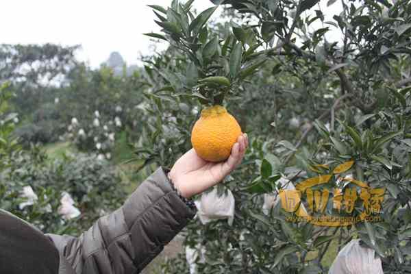 然国内四川成都红心柚苗木种植基地的业主销售
