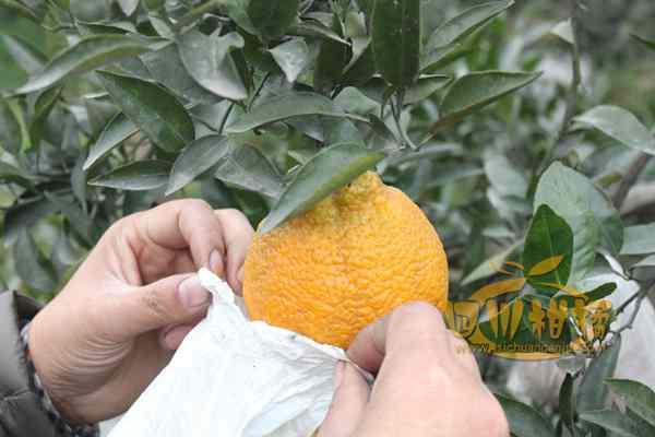 自建四川蒲江县不知火柑橘无病毒种苗繁育中心