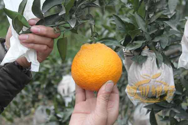 不知火柑橘投产累累硕果压弯了树枝