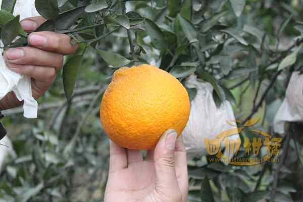 生产绿色有机丑柑产品东南亚等地