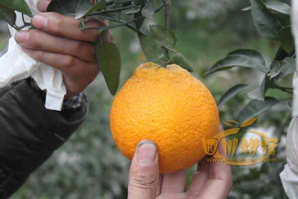 独特的自然环境成就了蒲江丑橘
