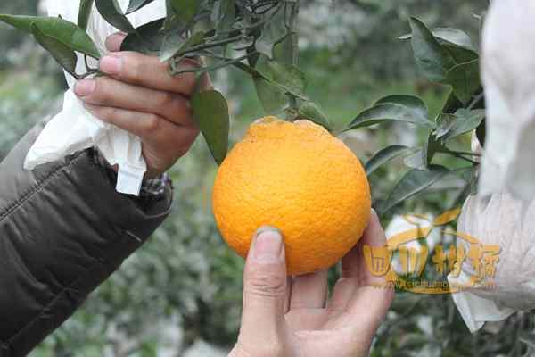 丑八怪丑橘