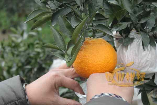 正在果园指导村民给丑柑果子套袋
