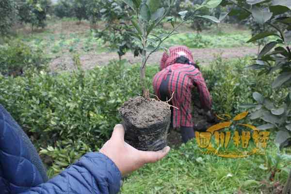蒲江不知火杂柑被评为国家地理标志保护产品