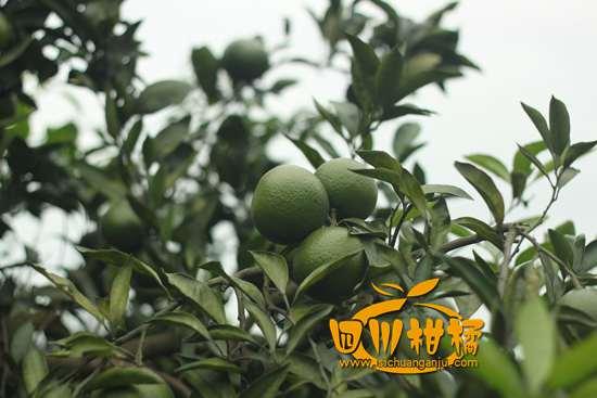 重庆是全国柑橘优势主产区之一