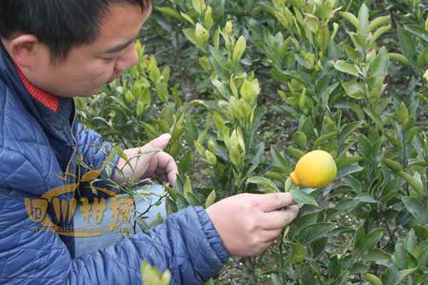 特别是不知火柑橘丰产年集中上市后销售价格低