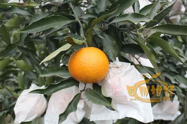 目前不知火丑柑占了柑橘市场最大份额