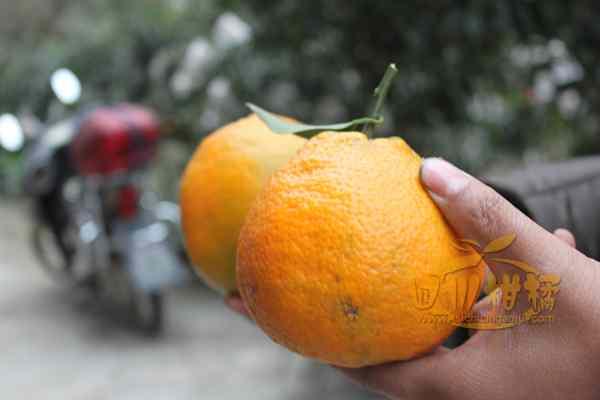 所以今年蒲江不知火柑橘的口感非常好