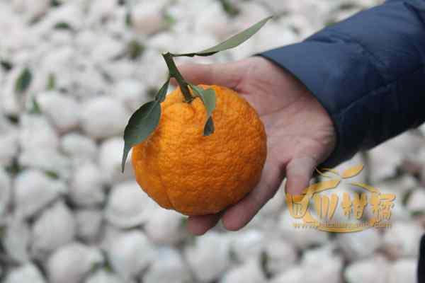 一个个农民在丑柑果园穿梭忙碌时