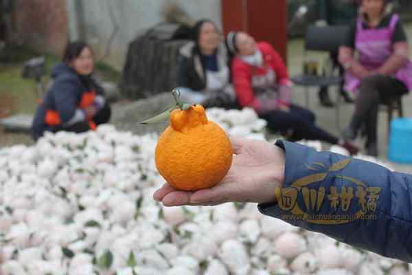开展丑八怪柑橘黄龙病防控工作