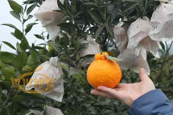不知火柑橘产业在四川蒲江农业产业中地位举足轻重