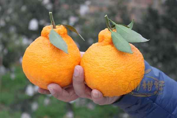 蒲江不知火更是逐渐成为高端水果的代名词