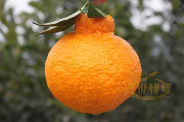 店主都称我们也要推出不知火柑橘新品种