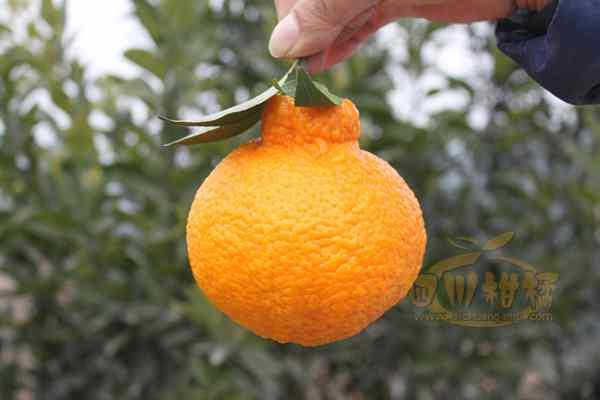 柑橘园规范化恢复配套丑柑种植技术
