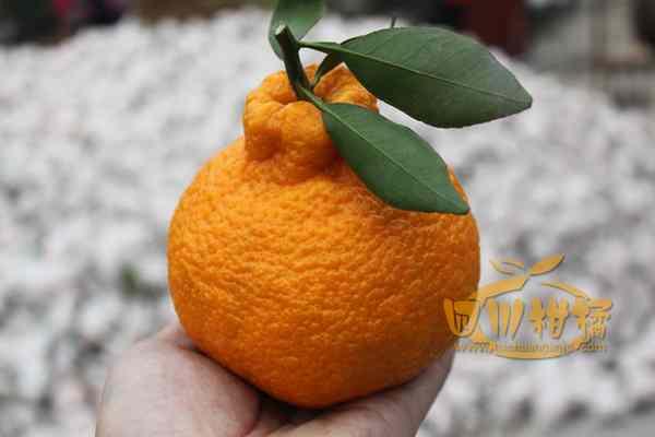 正在采摘晚熟不知火柑橘