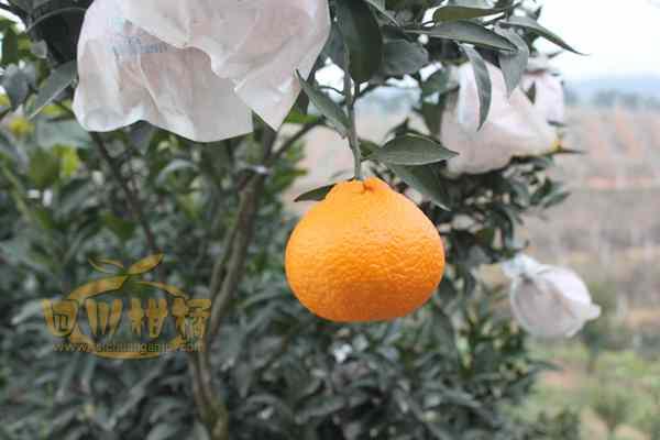 柑橘水果的营养价值