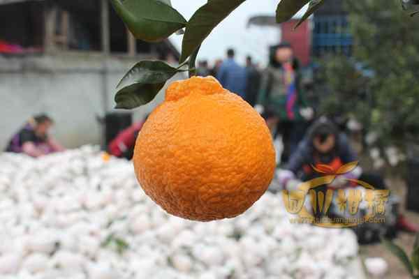 推动西部地区柑橘产业集约集群发展