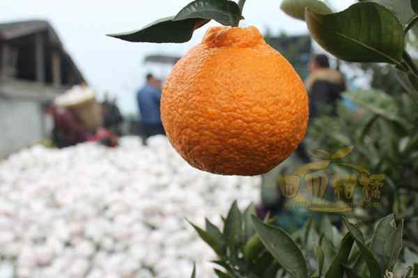 转化推广不知火柑橘新品种