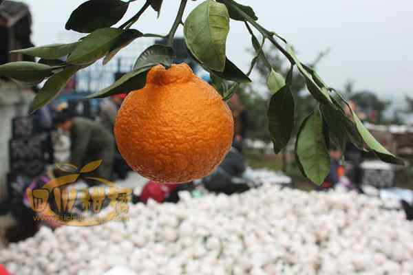 大超市内的水果多以不知火柑橘为主