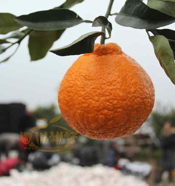 全镇不知火柑橘销售主要集中在家