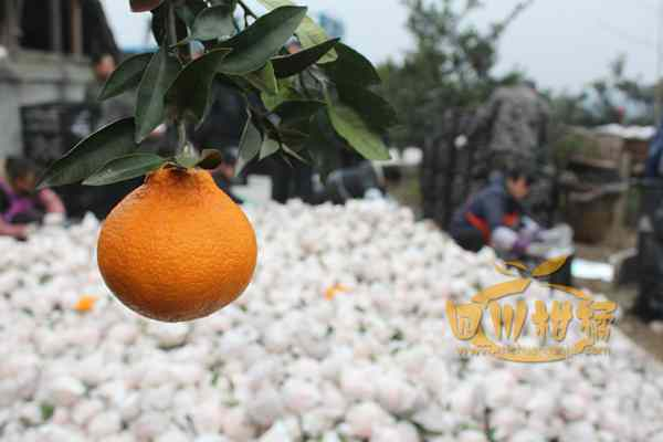 相对来说其果品不知火柑橘为北京奥运会