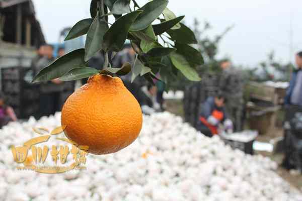 我国柑橘营养诊断配方施肥