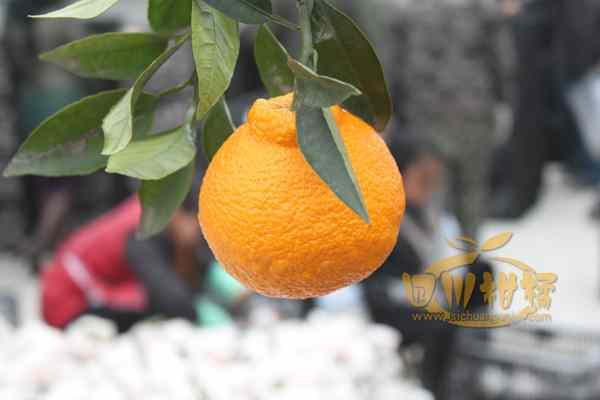 杂交新品种丑橘成水果新贵