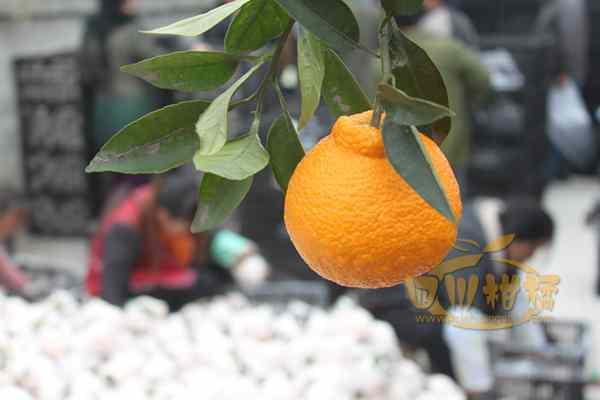 不知火柑橘展销于一体的生态科技示范园区