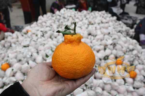 晚熟杂交柑品种在南宁试种获得成功