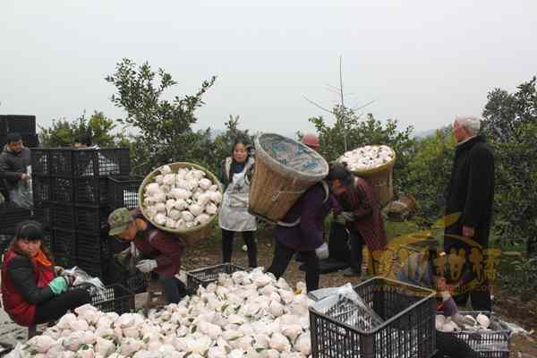 四川彭山县加大对优良柑橘品种的推广力度