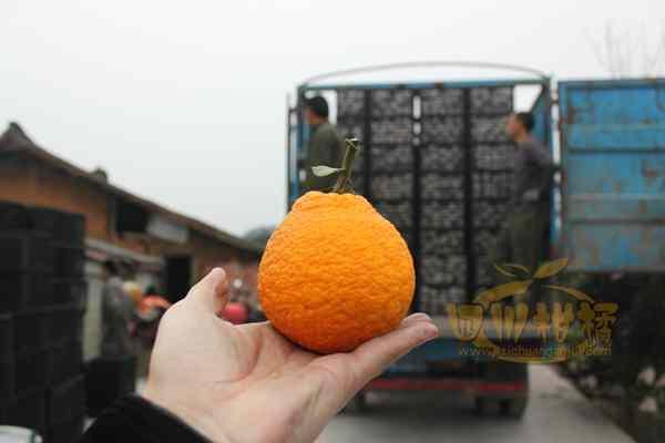 批发零售丑柑丑橘不知火
