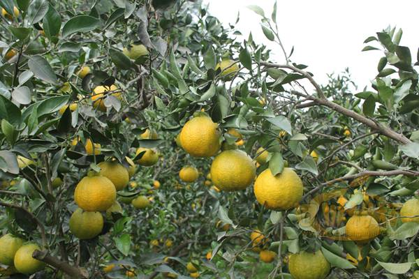 福建柑橘新品种--春香桔柚