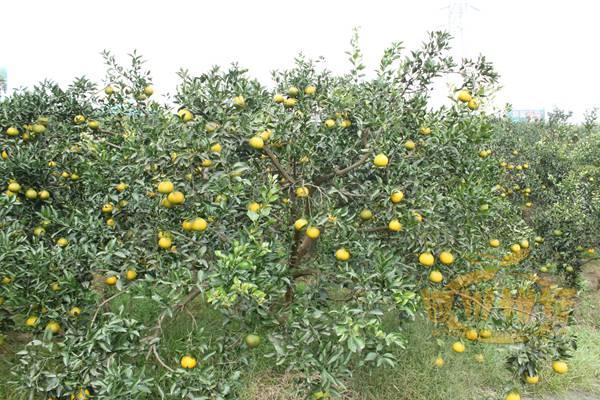 不知火桔橙在蒲江县的发展及栽培前景